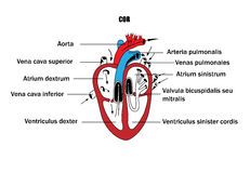 A schematic representation of the internal organs, the anatomy of the heart. Stock Photos