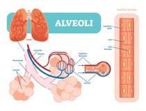 Schematisch, anatomisch vector de illustratiediagram van longenalveolen met capillair netwerk vector illustratie
