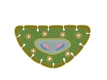 Schematischer Querschnitt eines Kiefernblattes Stockfotografie