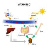 Schematisches Diagramm des Metabolismus des Vitamins D lizenzfreie abbildung