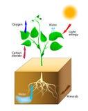 Schematyczny fotosynteza w roślinach royalty ilustracja