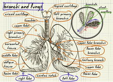 Scheme of human lungs. Illustration Stock Photo