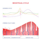 Scheme of the menstrual cycle. Level of hormones female period, changes in the endometrium, uterine cycle royalty free illustration