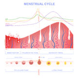 Scheme of the menstrual cycle. Ovarian cycle phase, level of hormones female period, changes in the endometrium, uterine cycle stock illustration