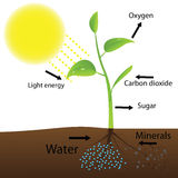 Scheme of photosynthesis Stock Images