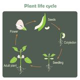 Scheme of plant life cycle. Learning biology Royalty Free Stock Photo