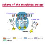 Scheme of the translation process. syntesis of mRNA from DNA in the nucleus. The mRNA decoding ribosome by binding of complementa. Translation protein synthesis royalty free illustration