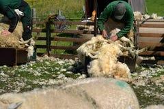 Scherende Schafe Lizenzfreie Stockfotos