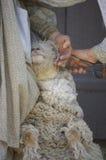 Scherende Schafe VII Stockbild