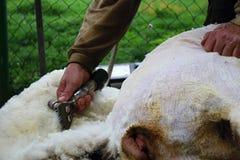 Scherende Schafwolle Lizenzfreies Stockbild