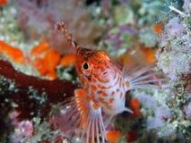 Scherp-geleid hawkfish Stock Fotografie