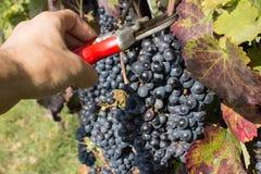 Scherpe druiven met schaar Stock Afbeeldingen