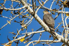 Scherpe Shinned Hawk Perched High in de Naakte Lidmaten van Autumn Tree stock fotografie