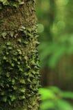 Scherpe verdedigingsdoornen op boom, het Nationale Park van Corcovado Royalty-vrije Stock Afbeeldingen