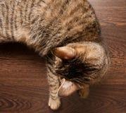 Scherpilzflechte in der Katze Lizenzfreie Stockfotos