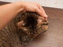 Scherpilzflechte in der Katze Stockbilder