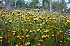 Scherpilzflechtenblumen Stockbilder