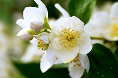 Schersmin flowers Royalty Free Stock Image