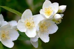 Schersmin flowers Stock Photography