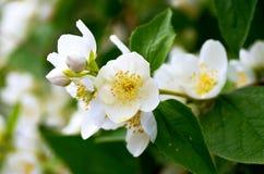 Schersmin flowers Stock Photo