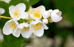 Schersmin flowers Stock Photos