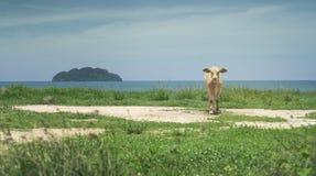 Scherzen Sie die Kuh, die nahe dem Meer steht und sehen Sie zur Kamera, zu unscharfem Meer mit blauem Himmel und zum Inselhinterg Lizenzfreie Stockfotografie