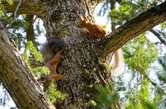 Scherzende Eichhörnchen eines Paares auf dem Stamm der Fichte Lizenzfreie Stockbilder