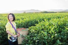 Scherzi la condizione al campo della piantagione di tè verde nel fong di shui a sunse Fotografie Stock Libere da Diritti