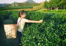 Scherzi prendono la foglia di tè al campo della piantagione di tè verde nel fong di shui, Fotografie Stock