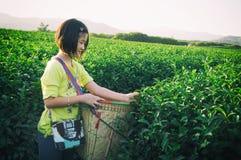 Scherzi prendono la foglia di tè al campo della piantagione di tè verde nel fong di shui, Immagine Stock
