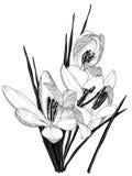Schets van bloeiende krokusbloemen Stock Fotografie