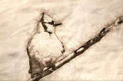 Schets van Jong Blauw Jay All Puffed Up vector illustratie