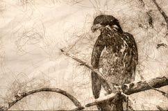 Schets van Jong Kaal Eagle Surveying het Gebied terwijl Neergestreken in een Onvruchtbare Boom royalty-vrije stock fotografie