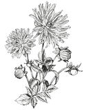 Schets van Mooie bloemen van Tuinasters Royalty-vrije Stock Afbeelding