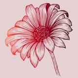 Schets van rode chrysant Stock Afbeeldingen