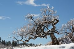 Scheuern Sie Eiche bedeckt im Schnee und gefrieren Sie nach einem Wintersturm Stockfotos