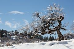 Scheuern Sie Eiche bedeckt im Schnee und gefrieren Sie nach einem Wintersturm Lizenzfreies Stockfoto