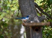 Scheuern Sie Jay Perched auf Vogel-Zufuhr Stockfotos
