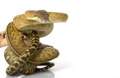 Scheuern Sie Pythonschlange lizenzfreie stockbilder