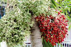 Scheur areca of betelpalmfruit. Stock Foto