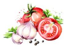 Scheur rode tomaten met jonge knoflook en peperbollen Waterverfhand getrokken die illustratie op witte achtergrond wordt geïsolee Royalty-vrije Stock Foto
