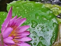 Scheuren van Lotus Flower Stock Foto