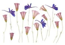 Séchez les fleurs sauvages pressées d'isolement sur le blanc Photos libres de droits