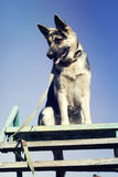 Schäfer Dog draußen Lizenzfreie Stockfotos