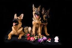 Schäferhund drei Lizenzfreie Stockfotos