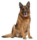 Schäferhund-Hund, 11 Jahre alt, sitzend Lizenzfreies Stockfoto