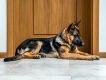 Schäferhund Puppy Stockfotografie
