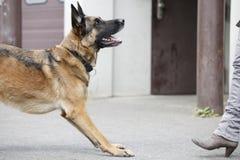 Schäferhund vor Frau Stockfotografie