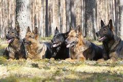 Schäferhunde Lizenzfreie Stockbilder