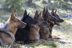 Schäferhunde Lizenzfreie Stockfotos
